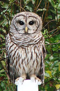 owl cropped